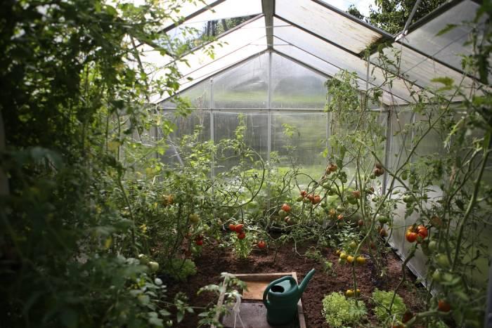 tomātu siltumnīca